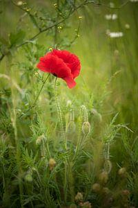 Single Poppy van Marianne Rouwendal