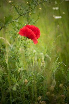 Single Poppy von Marianne Rouwendal