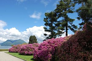 Rhododendron in bloei van