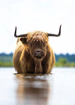 Schottischer Highlander sucht Abkühlung im Wasser!