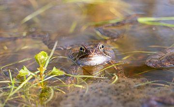 Frosch im Wasser der Oostvaardersplassen von John Ozguc