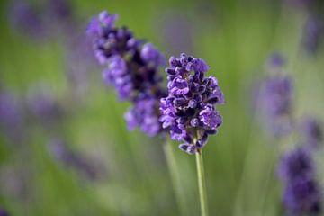 Lavendel sur Hans Tijssen