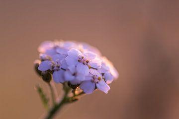 Wildblume im goldenen Licht von Tania Perneel