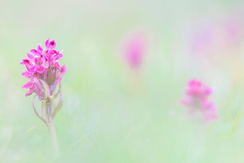Pastel Orchidee van Richard Guijt