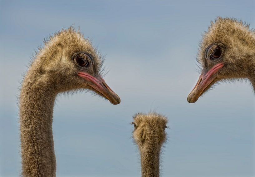 Struisvogels familie van Marcel van Balken