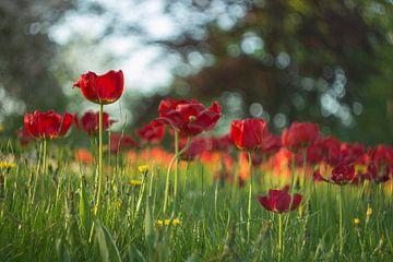 Tulpen von Marianne Henstra