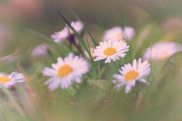Gänseblümchen von Leo Luijten