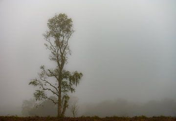 Birke im Nebel von Tania Perneel