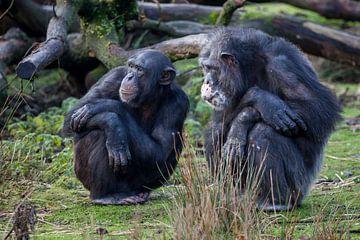 Zwei Schimpansen schauen auf etwas anderes von Joost Adriaanse