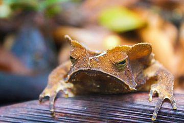Crested forest toad von