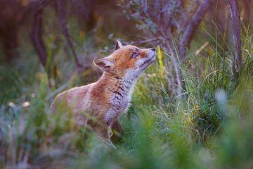 Schattige jonge vos van