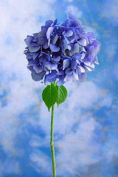 Blauwe bloem symboliseert: onschuld van Clazien Boot