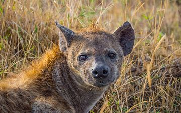 Hyène sur Stijn Cleynhens