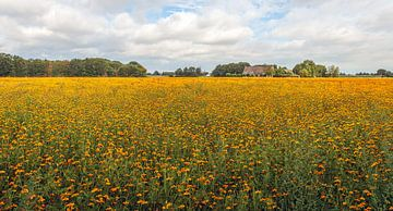 Groot veld met oranje bloeiende Afrikaantjes van Ruud Morijn