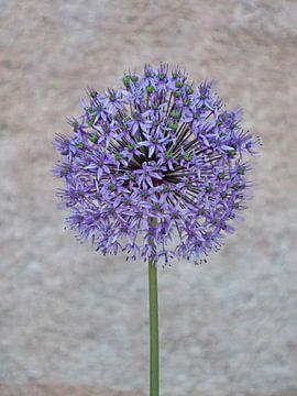 Blüte von Zierlauch von Katrin May