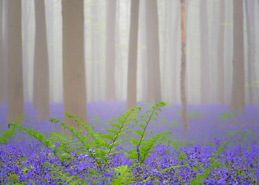 Bluebell forest mist van Sjoerd van der Wal