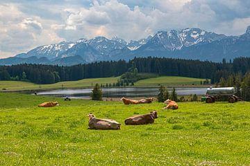 liegende Kühe von Thomas Heitz