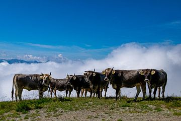 Kühe von Eric Spies