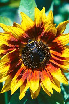 Fleißige Biene von Simen Crombez