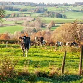 Neugierige Kühe in Süd-Limburg von John Kreukniet
