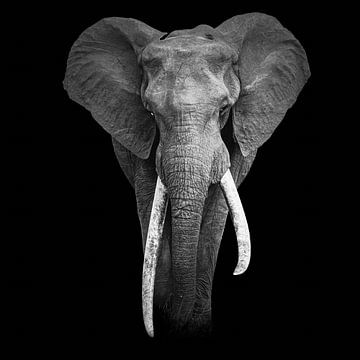 Porträt eines großen Stoßfängers von Sharing Wildlife
