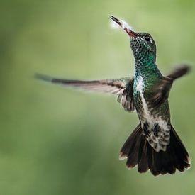 Vliegende Kolibrie met een mooie achtergrond van Peter Reijners