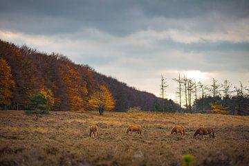Wildpferde in der Heide von Planken Wambuis Ede von Nicky Kapel
