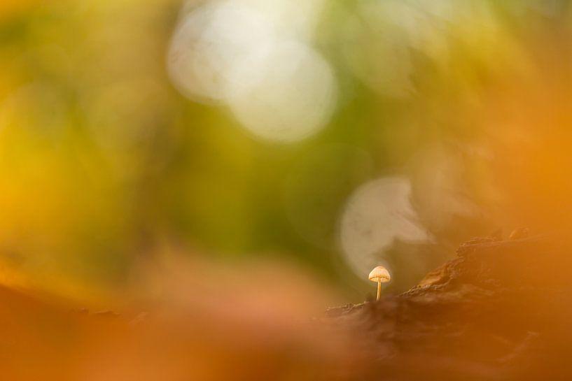 paddenstoeltje in de zon van Krist Hooghe