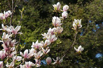 Oliwa Park Gdánsk Chinese Magnolia / Magnolia × soulangeana von Maurits Bredius