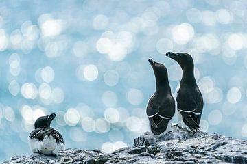Alken op de Farne Islands (GB)