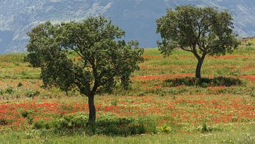 Zwei Bäume im Mohnfeld von Daan Kloeg