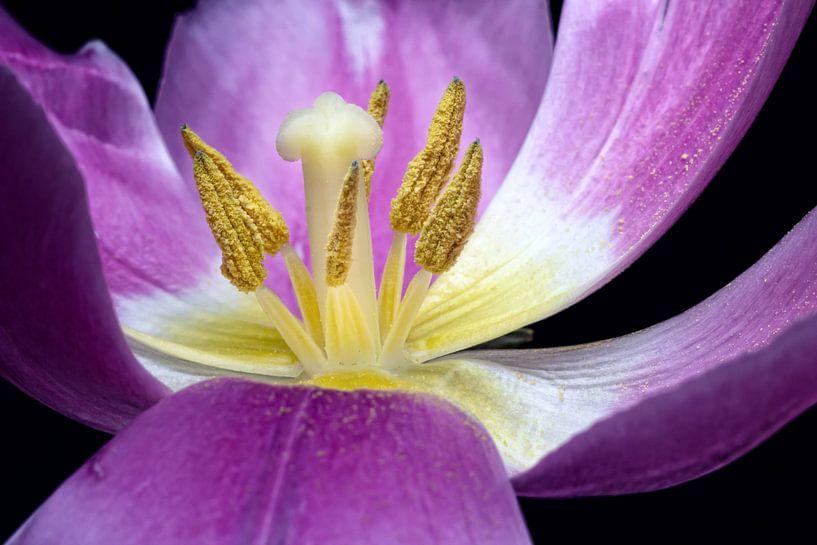 Life is short... (bloem, tulp) van Bob Daalder