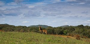 Kudu standing tall