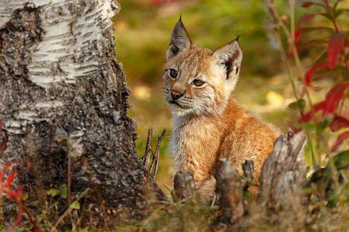 Jonge Lynx van