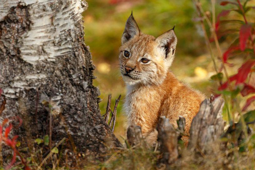 Jonge Lynx van Menno Schaefer
