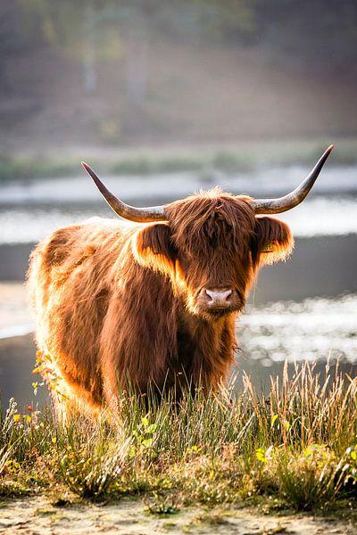Portret van een Schotse hooglander #2 van Evelien Oerlemans