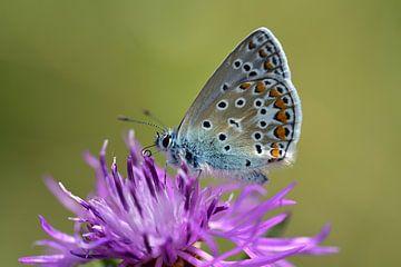 Ein kleiner Schmetterling auf einer lila Blüte von Ulrike Leone