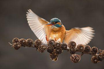 Eisvogel fliegt auf Fichtenzweig von Jeroen Stel