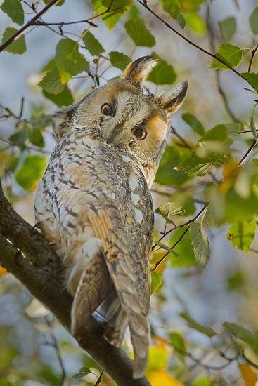 Ransuil in een boom  van Menno Schaefer