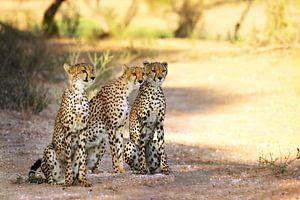 Die drei Geparde, Südafrika von