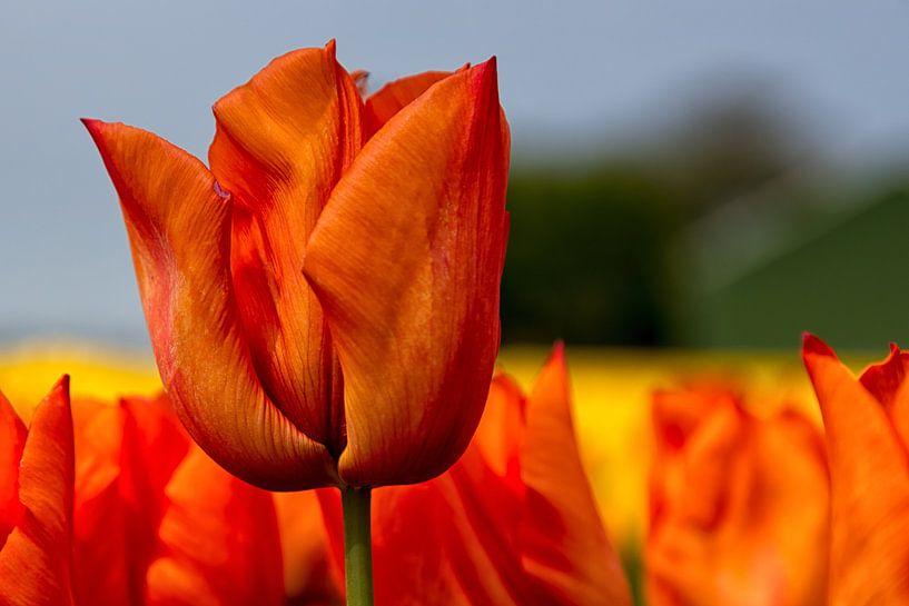 Tulp Yokohama Orange van Bram van Broekhoven
