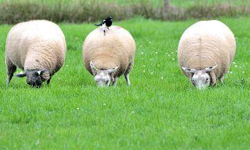 schapen grazen in de wei van Petra De Jonge