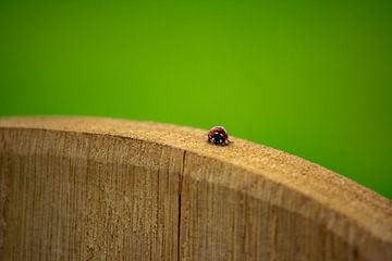 Lieveheersbeestje op hout van Michael van Eijk