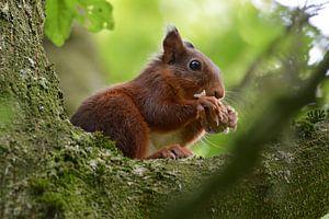 etende eekhoorn van Pascal Engelbarts