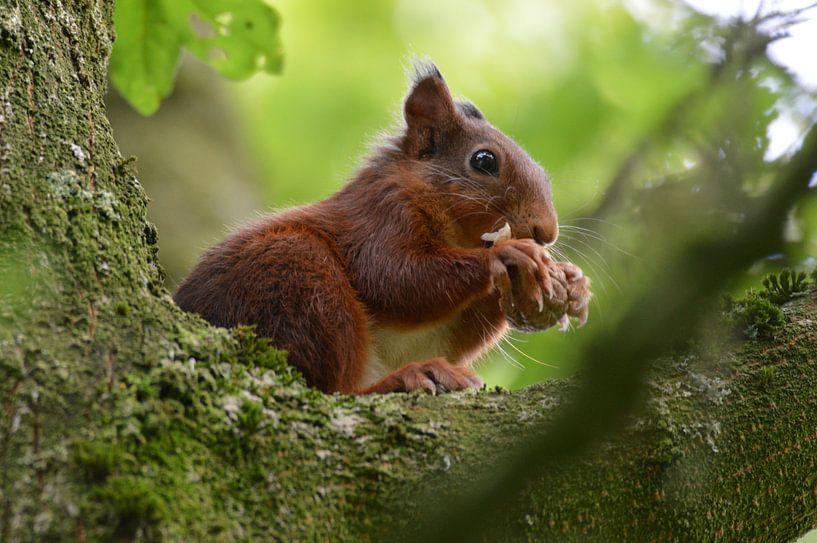 etende eekhoorn von Pascal Engelbarts