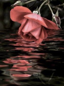 Pink Rose - Rose water, van Christine Nöhmeier