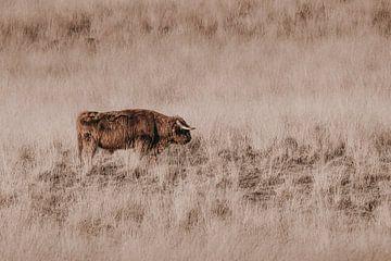 Schotse hooglander op de heide in het Deelerwoud van Melissa Peltenburg
