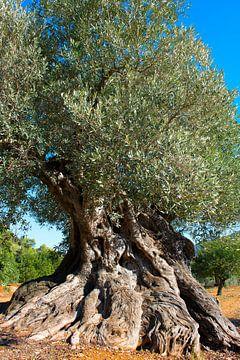 Oude olijfboom in Spanje von Peter Schütte