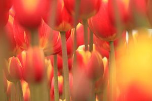 Forrest of tulips
