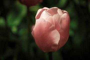 De roze tulp von Stedom Fotografie